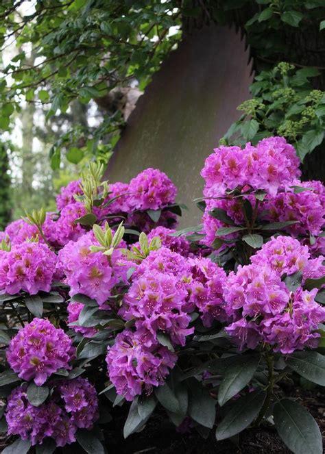 Flowering Garden Shrubs Best 20 Flowering Shrubs For Shade Ideas On Flowering Plants For Shade Perennial