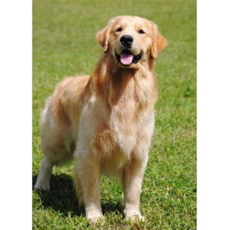 golden retriever puppies in virginia autumn lake golden retrievers golden retriever breeder in chesapeake virginia 23322