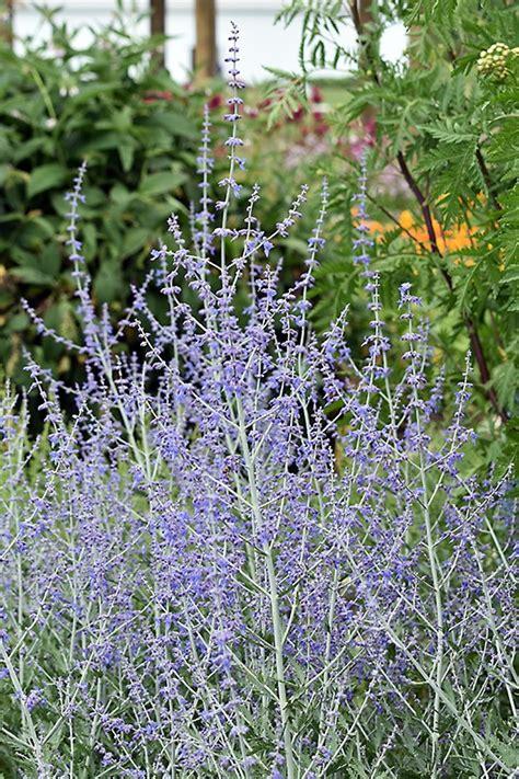 shelby michigan lavender maze 9 shelby michigan lavender maze 100 images lavender