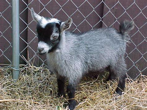 Miniatur Pet Polisi do you an pet wonderopolis