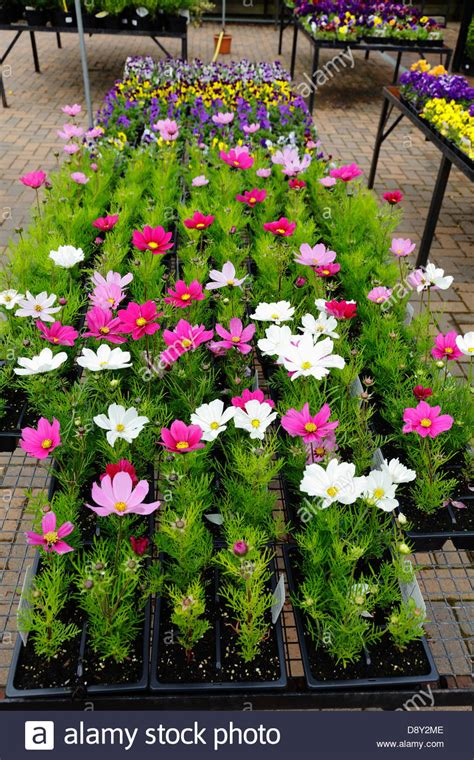 Garden Flowers For Sale Summer Bedding Plants For Sale In A Garden Centre Scotland Uk Stock Photo 57143198 Alamy