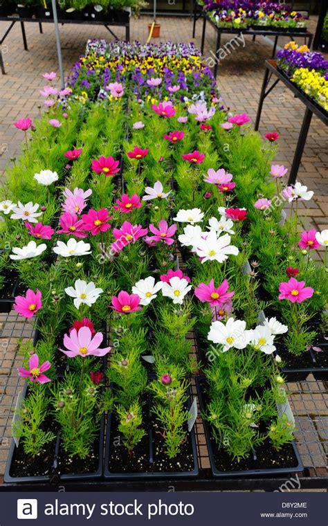 summer bedding plants  sale   garden centre