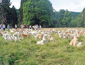 becky golden retrievers 20 best ideas about guisachan gathering and house on the golden