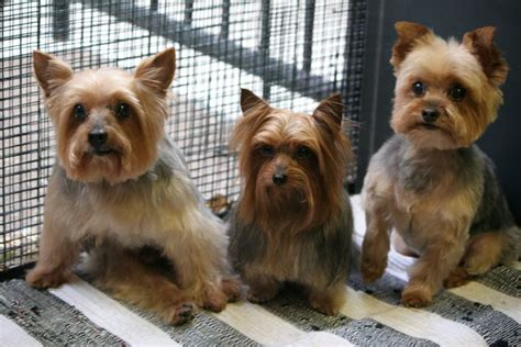 different haircuts for yorkies three different hairstyles for yorkies yorkies hairstyles for tu