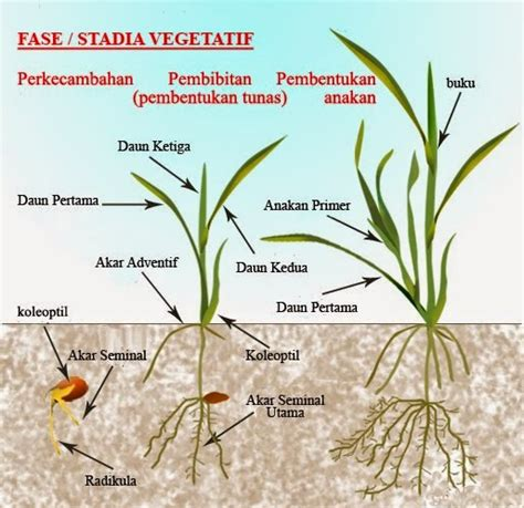 Obat Alat Pertanian mengenal fase vegetatif dan fase generatif pada tanaman