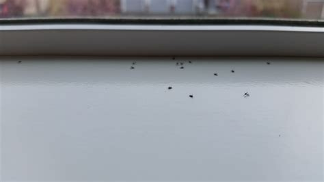 Tiny Beetles On Windowsill tiny windowsill bugs ask an expert