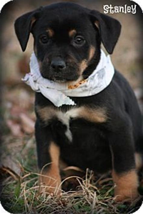 adopt a puppy ct lab rottweiler mix puppies for sale zoe fans baby animals