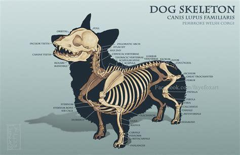 corgi skeleton by faye fox on deviantart