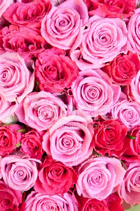 red white and pink roses pictures to pin on pinterest red and pink rose background stock photos freeimages com