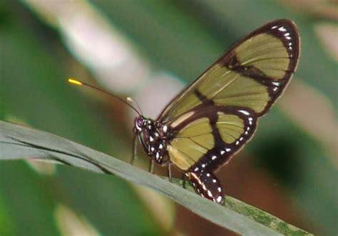 imagenes bellas mariposas nuestrasmariposas fotos bellas mariposas