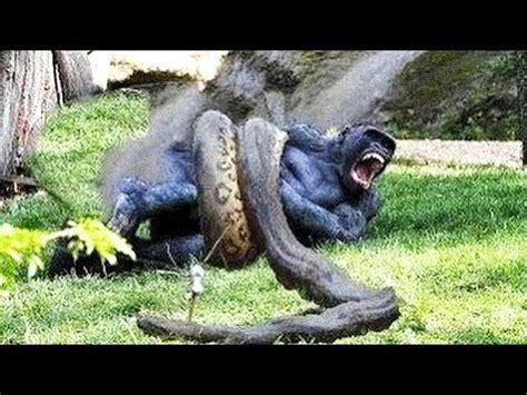 great python attacks monkey great python eating monkey python  monkey youtube