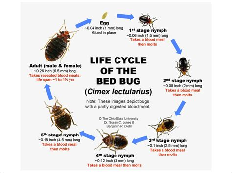 how long does it take for bed bugs to infest bedbugs control malaysia