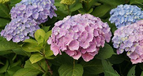 fiori ortensia l ortensia un fiore dai mille colori buone notizie bologna