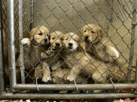 puppy mills in mn puppy mills in pa how to on leash not to pull