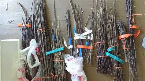 scion wood for sale fruit tree propagation grafting philadelphia orchard