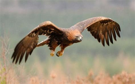 golden eagles    brink  numbers soar