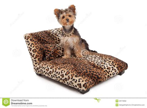 animal in bed yorkshire terrier dog on animal print bed stock
