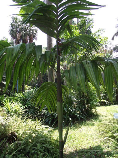 Areca Palm areca triandra wikipedia