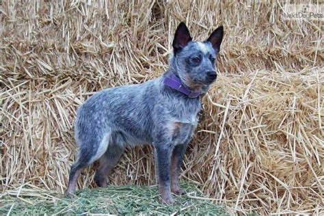mini blue heeler puppies for sale australian cattle blue heeler puppy for sale near bend oregon bd899ff4 edf1