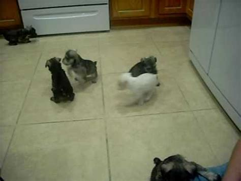 schnauzer puppies ohio we miniature schnauzer puppies for sale in ohio