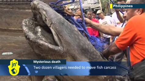 baby shark youtube philippines baby whale shark found dead on philippines coast whale