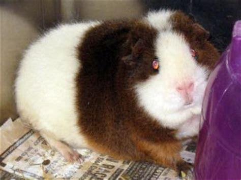 guinea pig bedding bulk adopt a guinea pig in pa nj ny wv ny lollypop farm in fairport five pigs