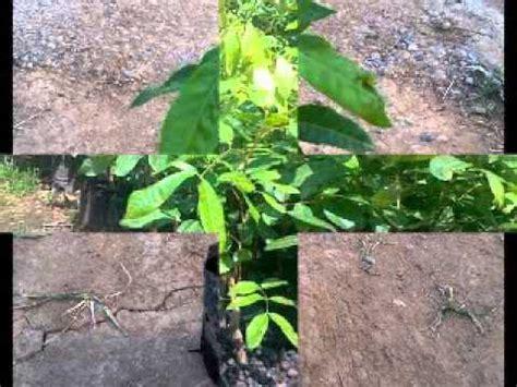 Jual Bibit Belut Jawa Timur jual bibit pohon kelengkeng itoh di nganjuk jawa timur