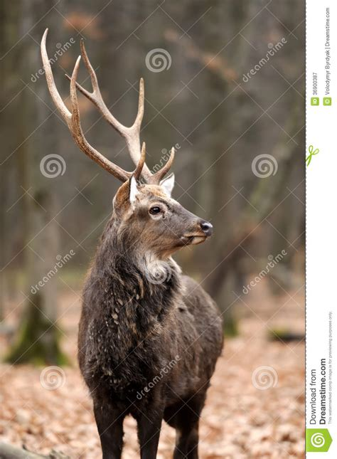 buck stag deer royalty free stock photography image 36900387