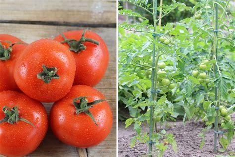 wann werden tomaten gepflanzt tomaten s 228 en wann ist der ideale zeitpunkt tomaten de
