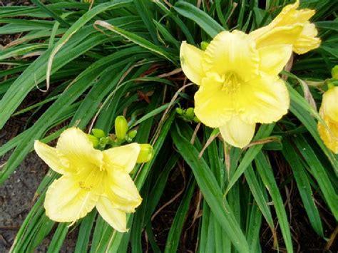 Stelan Flower daylily stella d oro denton county master gardener association
