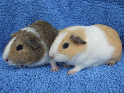guinea pug mixed coloured baby guinea pigs marlborough wiltshire pets4homes