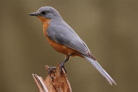 file silverbird in murchison falls national park uganda