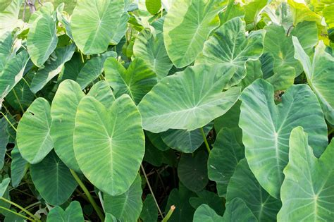 elephant ear division tips for dividing elephant ear bulbs in the garden