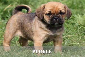 Puggle puppies for sale in pa puggle puppies for sale