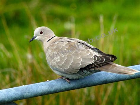 collared dove western isles birds birdlife and bird