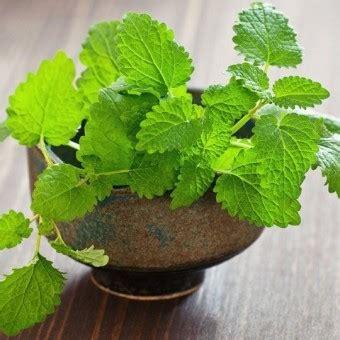 Tanaman Herban Daun Mint Tanaman Daun Mint Asli tanaman peppermint