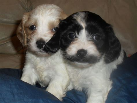 cavachon puppies for sale mn cavachon puppies for sale cavachon puppy pictures cavachon puppies breeds picture