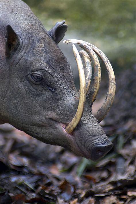 strangest species  animals  exist   morphed