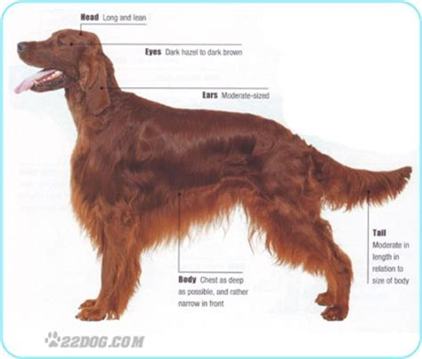 setter dog grooming 170 best images about dog groom cuts styles on pinterest