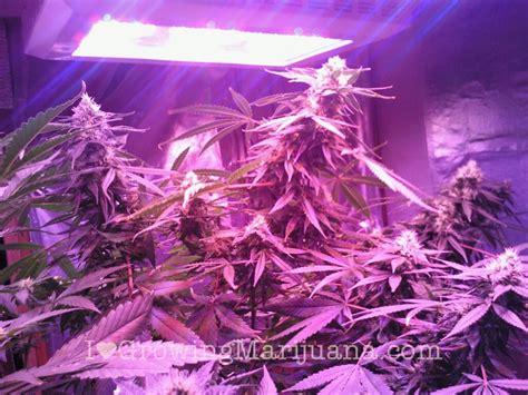 led lights for marijuana led grow lights growing marijuana easy or do they