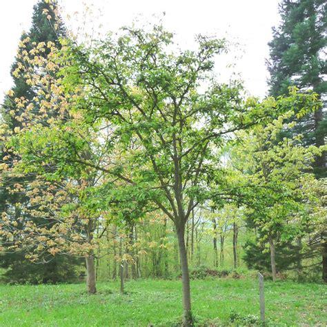 buy tree prunus kursar buy cherry blossom flowering cherry trees