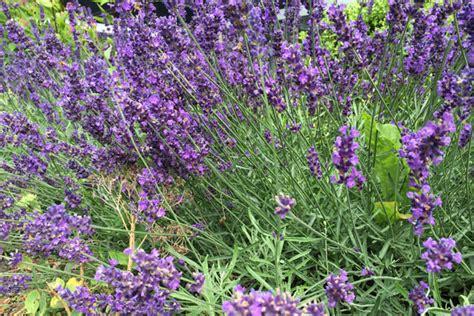passende pflanzen zu lavendel passende pflanzen zu lavendel wohn design