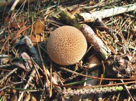 Maronen Pilze Im Garten by Exoten Garten Pilze
