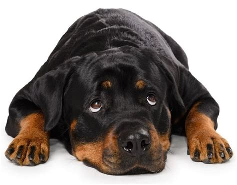 Do Rottweiler Shed by Importance Of A Healthy Rottweiler Diet Rottweilerhq