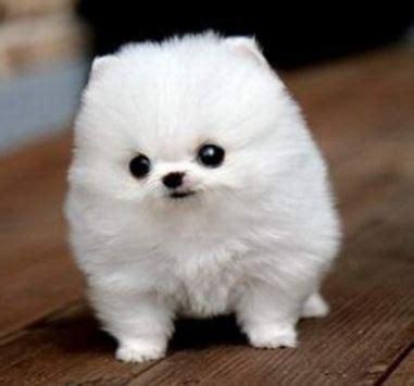 white baby pomeranian white pomeranian http media cache9 upload 80220437082636286