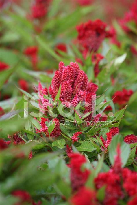 fiore cresta di gallo fiori di cresta di gallo rosso fotografie stock