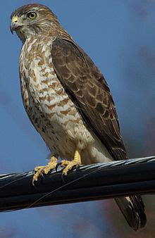 broad winged hawk wikipedia