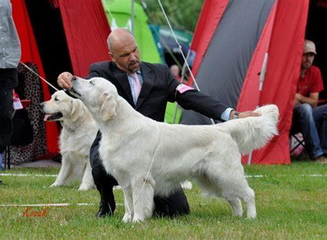 dewmist golden retrievers ch dewmist silk screen chien de race toutes races en tous departements inscrit
