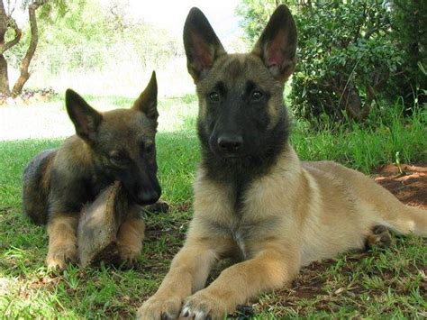 malinois puppy puppies pictures and information
