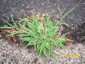 file crabgrass jpg wikipedia